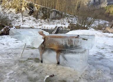 ドナウ川に落ちて凍ったキツネ、氷の塊ごと切り出される ドイツ 写真2枚 国際ニュース:AFPBB News