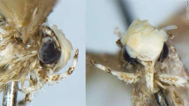 【虫注意】新種のガ、「ドナルドトランピ」と命名 頭の「金髪」にちなみ