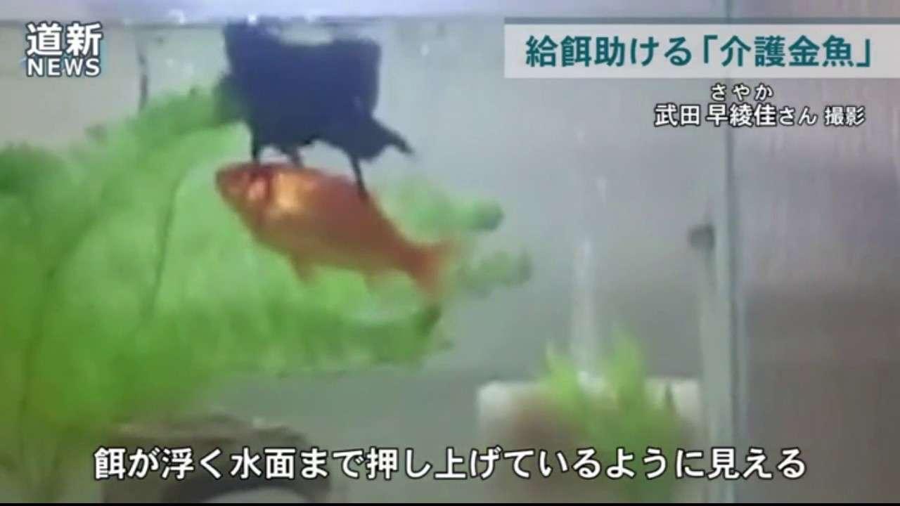 泳ぐの不自由な仲間の食事を一生懸命助ける「介護金魚」が話題 北海道・平取町 - YouTube