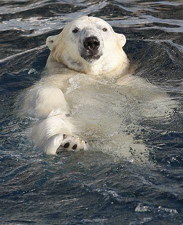 ホッキョクグマは遠くまで泳げる=米研究| ロイター