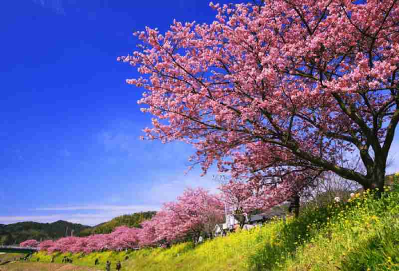 みなみの桜と菜の花まつり・花の名所案内