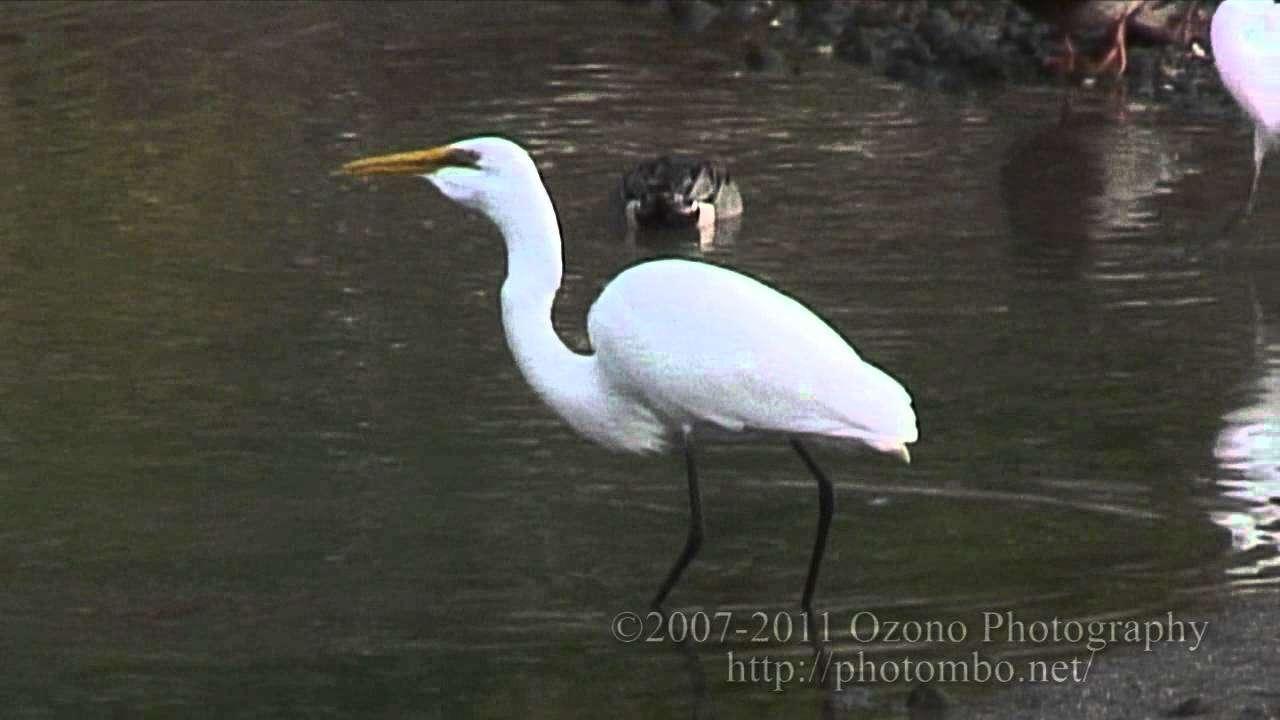 ダイサギ、メジロを食べる A Great Egret prey on a white-eye - YouTube