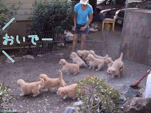 子犬11匹に「おいでー」と呼びかけたなら…覚悟を決めなくてはいけない(動画):らばQ