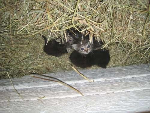 「今朝、ニワトリが卵ではなく子猫4匹を温めてたんだけど!」→そのとき猫のお母さんは?