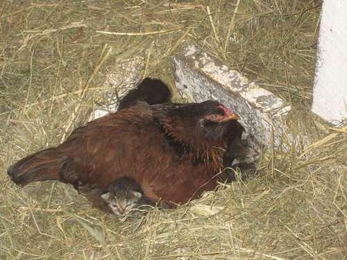 「今朝、ニワトリが卵ではなく子猫4匹を温めてたんだけど!」→そのとき猫のお母さんは?:らばQ
