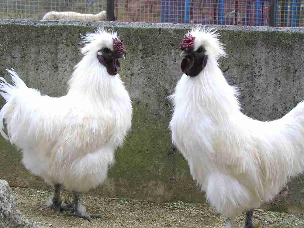 烏骨鶏の販売|ワールド牧場