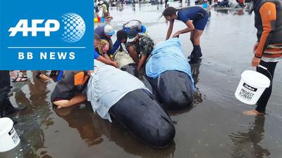 浜辺にクジラ400頭以上打ち上げ NZ「過去最大規模」 (AFPBB News) - Yahoo!ニュース
