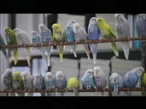 インコ式静岡新聞 30秒ver.(budgies' news service of Shizuoka Newspaper in 2030) - YouTube