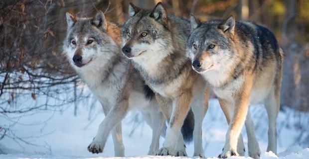 癒ししかない…(笑)!オオカミたちの「モフサンド」が可愛すぎる 4枚 | BUZZmag