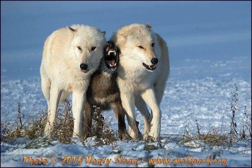 オオカミたちの「モフサンド」が可愛すぎる
