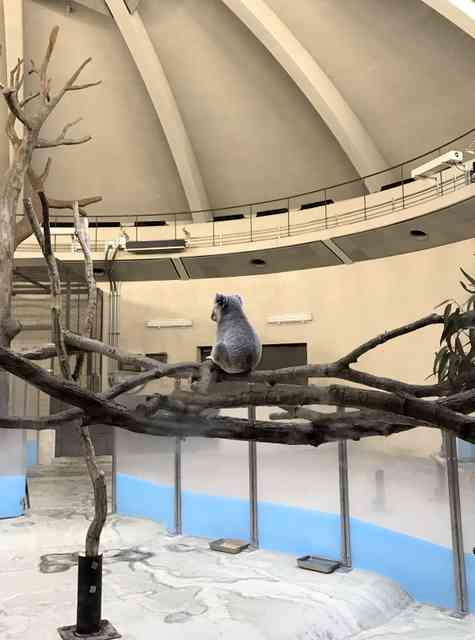 コアラ、展示場にぽつんと1頭 多摩動物公園、メスは…:朝日新聞デジタル