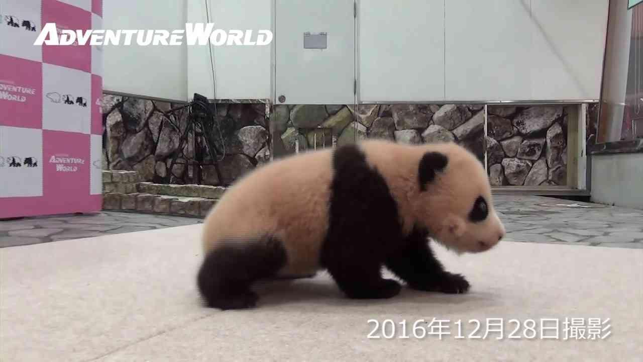 ジャイアントパンダの赤ちゃん「結浜(ゆいひん)」が歩きはじめました - YouTube