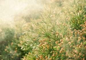 花粉症、東京都が撲滅宣言 深刻化の原因は50年前?従来型スギ、大量植樹&放置|ビジネスジャーナル