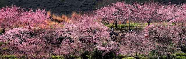 静岡県 河津桜が見頃 川沿いにピンク色の桜並木