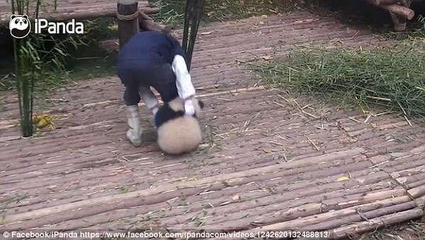 【カワエエ】この仕事なら一生やりたい!パンダが永久的にまとわり付いてくる羨ましい飼育員の動画が話題に