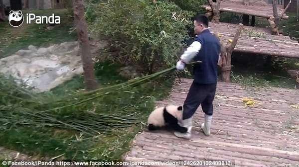 【カワエエ】この仕事なら一生やりたい!パンダが永久的にまとわり付いてくる羨ましい飼育員の動画が話題に|面白ニュース 秒刊SUNDAY
