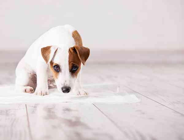 犬の食糞、食事量の見直しやストレス解消でやめさせられる