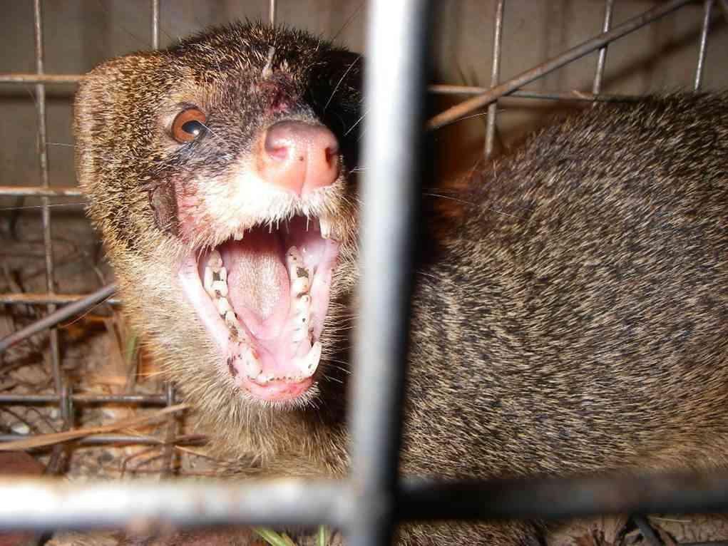 マングースはハブと闘わない 有害外来生物をつくり出した学者の責任 (THE PAGE) - Yahoo!ニュース