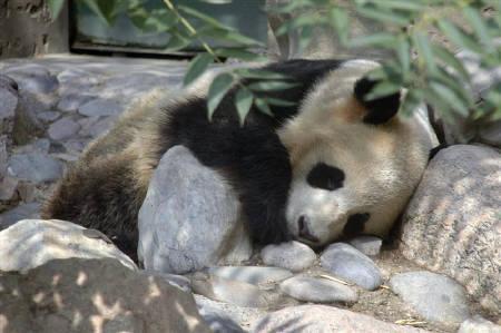 中国の動物園、餌に怒ったパンダが飼育員をかむ| ロイター
