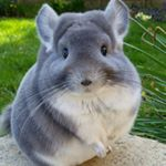 @camerons_chinchillas • Instagram photos and videos