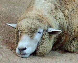 羊が1000出現したら眠りに落ちます