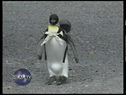 Pet Penguin in Japan - YouTube