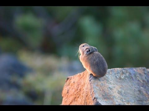 ナキウサギ 5 Japanese Pikas Calling Out : Cute animals in Nature - YouTube