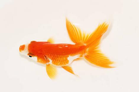 遊んでください。金魚好きさん。