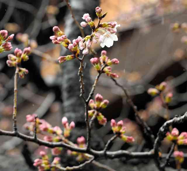 東京で桜開花 全国で最も早く 都心は1月並みの寒さ (朝日新聞デジタル) - Yahoo!ニュース