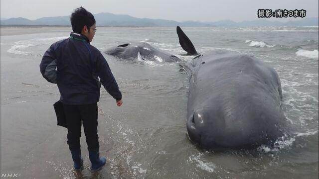 海岸にクジラ6頭打ち上げられる 鹿児島   NHKニュース
