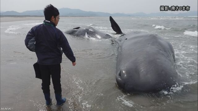 海岸にクジラ6頭打ち上げられる 鹿児島