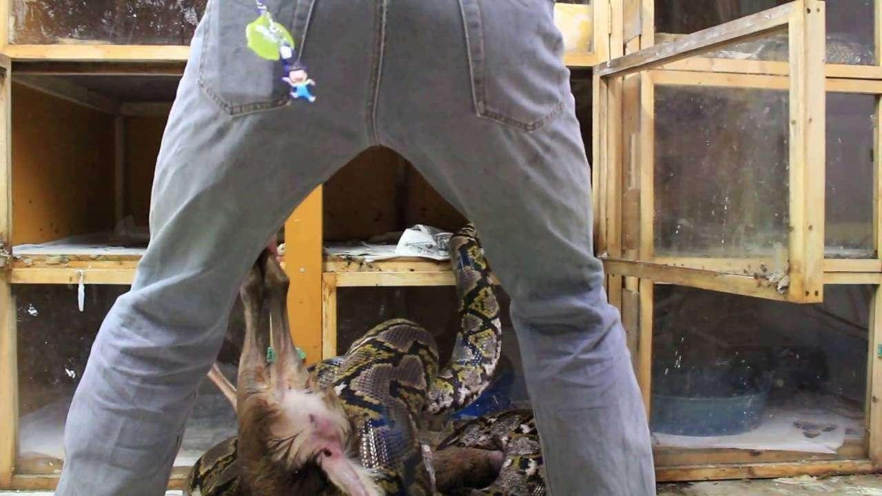アミメニシキヘビ 給餌 - YouTube