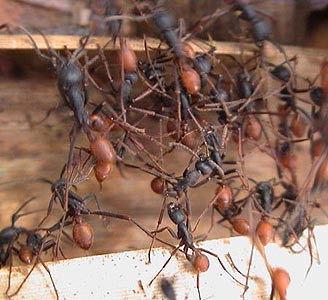 軍隊蟻 : 世界で最も恐ろしい虫 7選【微グロ・閲覧注意】 - NAVER まとめ