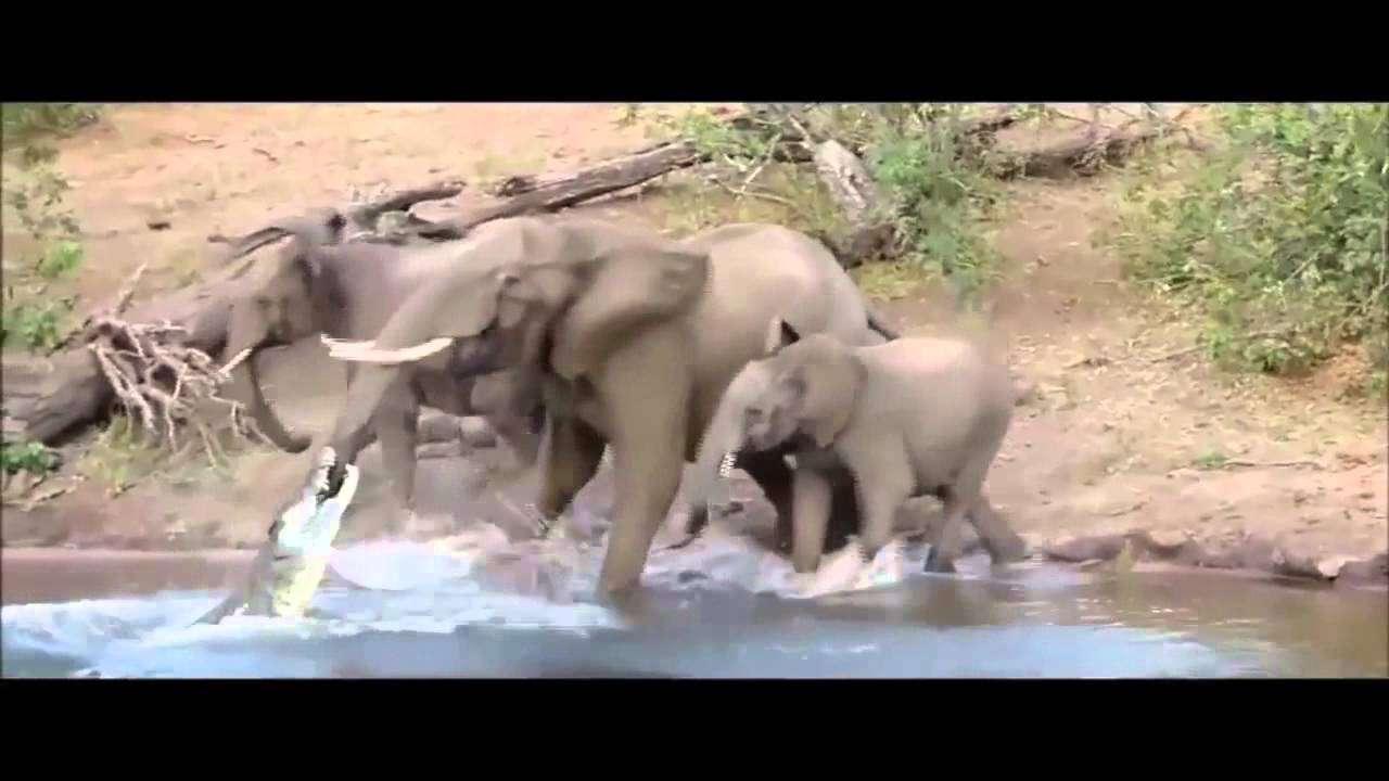 ゾウの鼻に噛み付き水中に引きずり込むワニ - YouTube