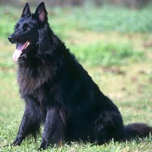 カッコいい犬の画像を貼りましょう♪