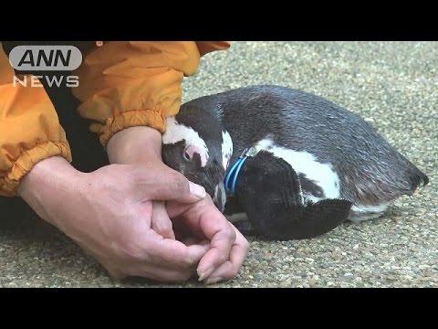 """ペンギン嫉妬で攻撃も 職員めぐり""""五角関係""""に・・・(17/02/17) - YouTube"""