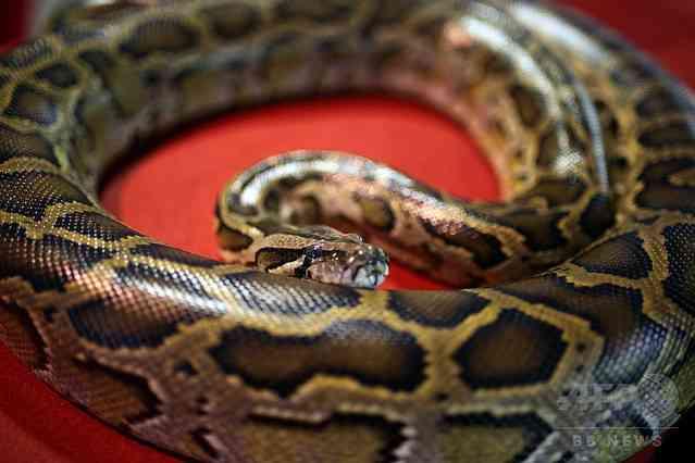 全長7mのニシキヘビの腹から成人男性の遺体発見 インドネシア (2017年3月30日掲載) - ライブドアニュース