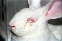 【閲覧注意】むごすぎる化粧品の動物実験…「ウサギは痛さで暴れ、失禁し、目はつぶれる」