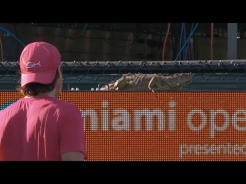 【画像】試合中のテニスコートにイグアナが乱入!