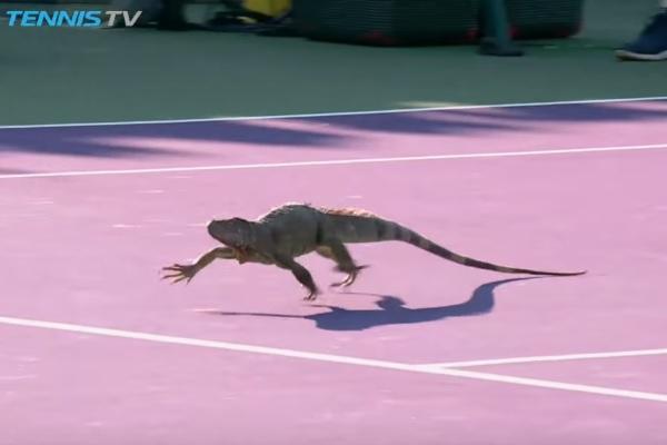 試合中のテニスコートにイグアナが乱入!【映像】 - AOLニュース