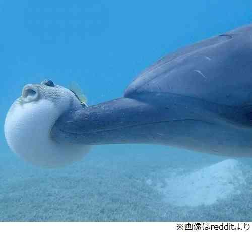 体膨らませたフグにイルカがいたずら、フグの驚きの表情
