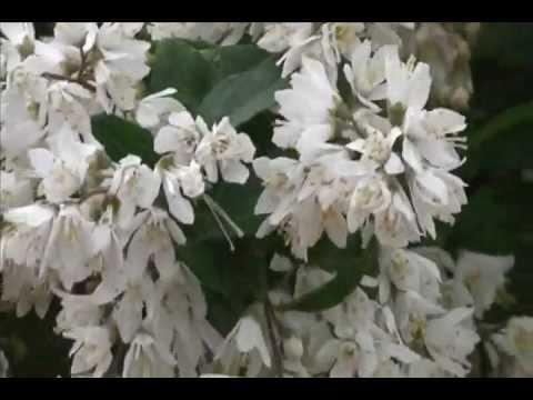 「ホトトギス」の鳴き声と満開の「卯の花」 Lesser cuckoo's call 2011 - YouTube
