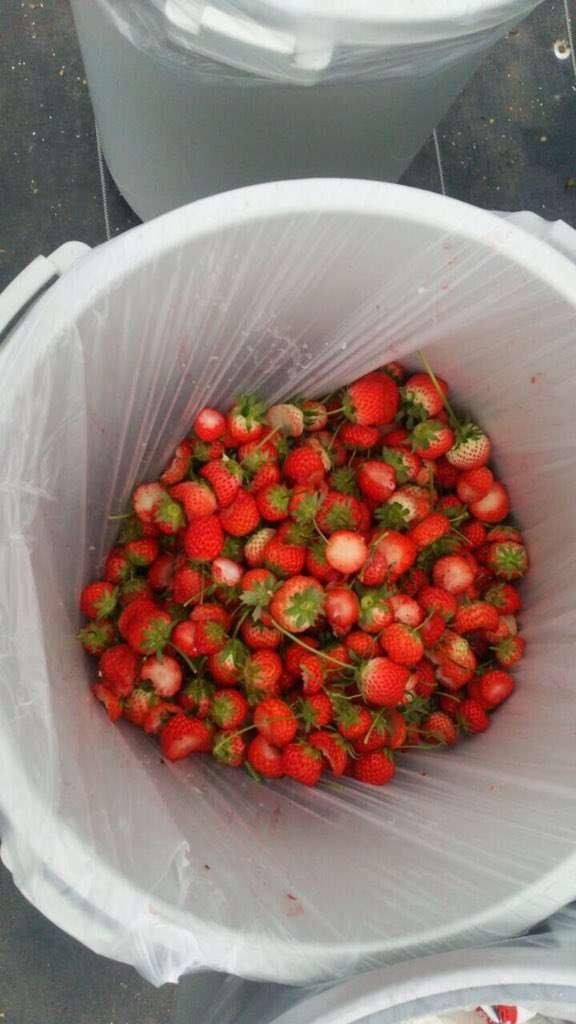 イチゴ狩り農園が一部参加者のマナーの悪さに訴え まだ食べられるいちごが山積みに