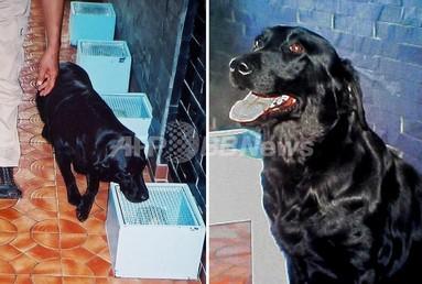 韓国でがん探知犬「マリーン」のクローン犬、誕生 写真1枚 国際ニュース:AFPBB News