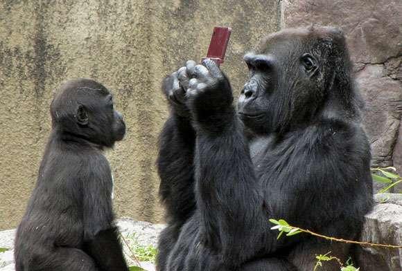 携帯を使うイケメンゴリラ