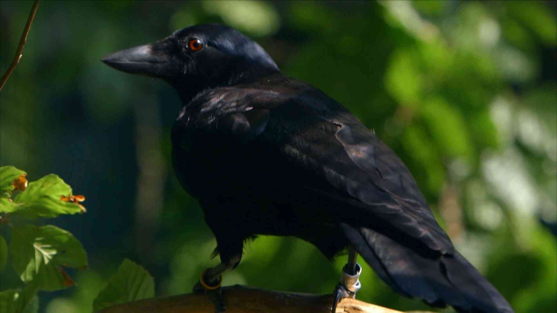 Are crows the ultimate problem solvers? - Inside the Animal Mind: Episode 2 - BBC Two - YouTube