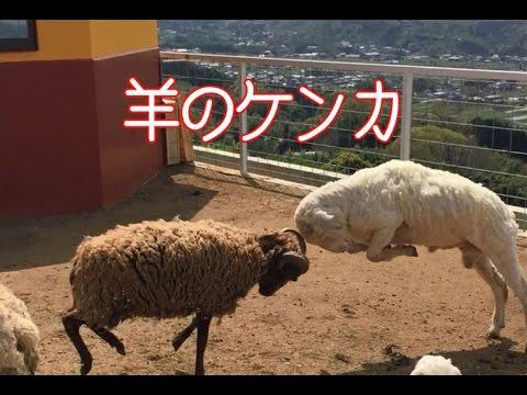 【痛い 】頭突きの羊が激しいケンカ!途中で仲裁する羊が現れる。 - YouTube