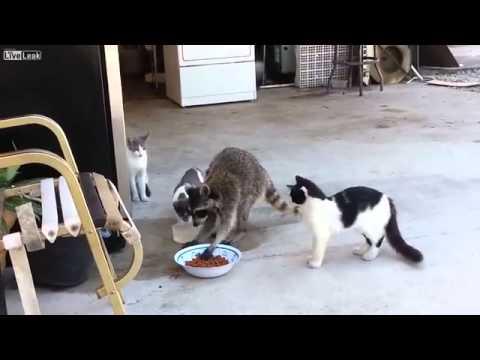 餌を横取りするアライグマに呆然とする猫たち - YouTube
