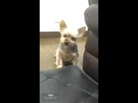 しゃべる犬!最高に面白いワンコ! - YouTube
