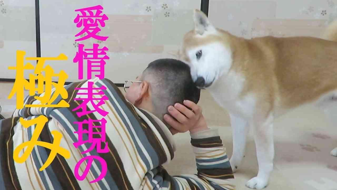 散髪したての飼い主の頭大好き柴犬ちゃめ - YouTube